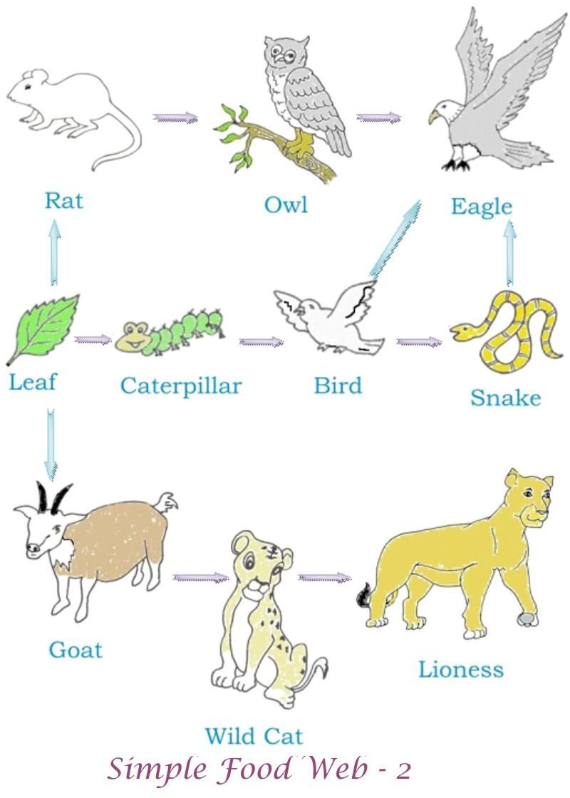 food chains and webs Food webs and food chains worksheet 1 look at this food chain lettuce greenfly ladybird thrush cat a what does the arrow mean in a food chain b name the producer in the food chain.